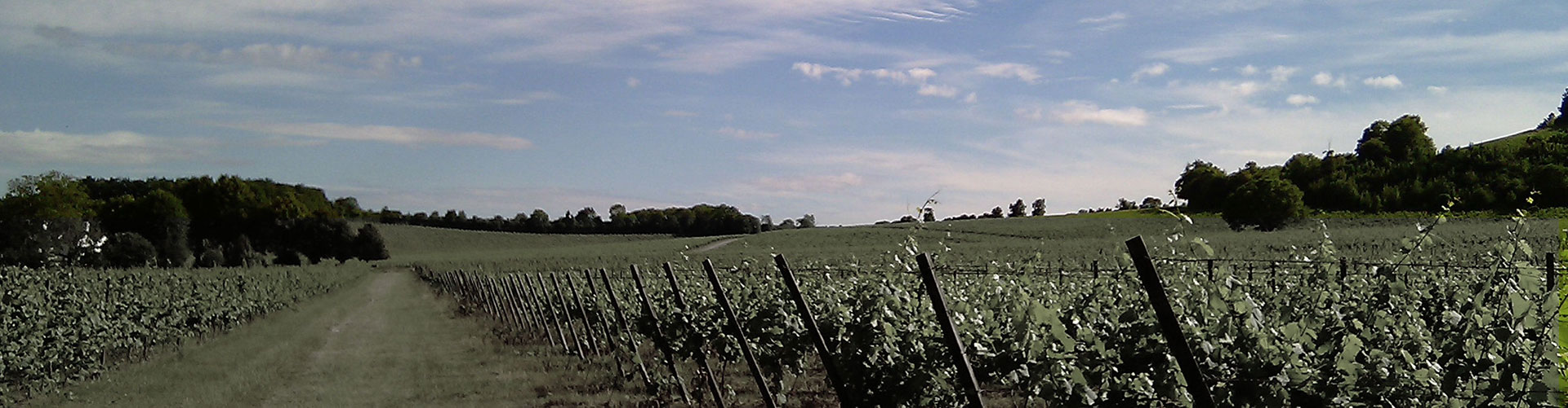A landscape view of vineyard looking towards open countryside